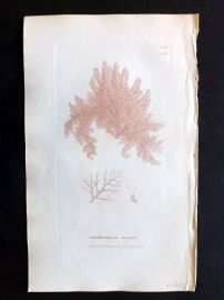 Sowerby 1846 Hand Col Seaweed Print. Calithamnion Roseum 2460